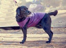 画像5: 【 大型犬専用 大型犬サイズの犬服 】犬服 タンクトップ Malibu 大型犬用 (5)
